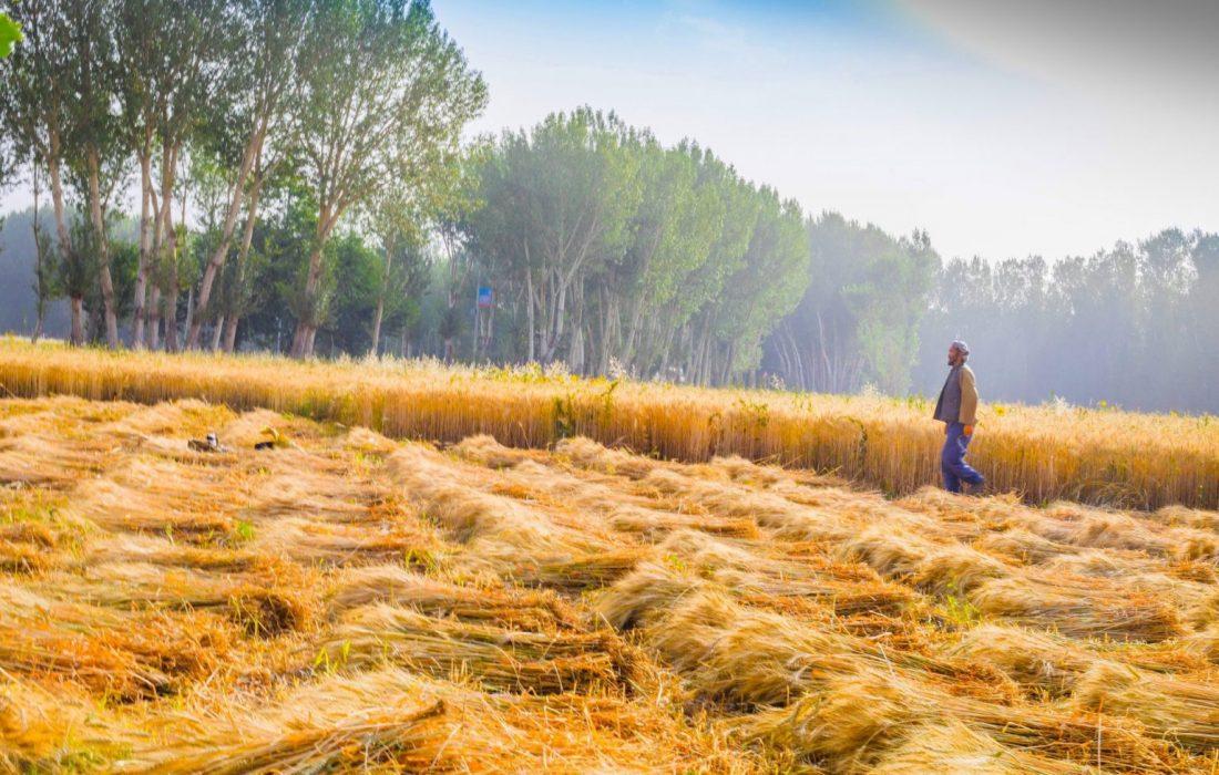 افزایش محصولات زراعتی در افغانستان؛ مدارا کردن دولت و نگرانی کشاورزان